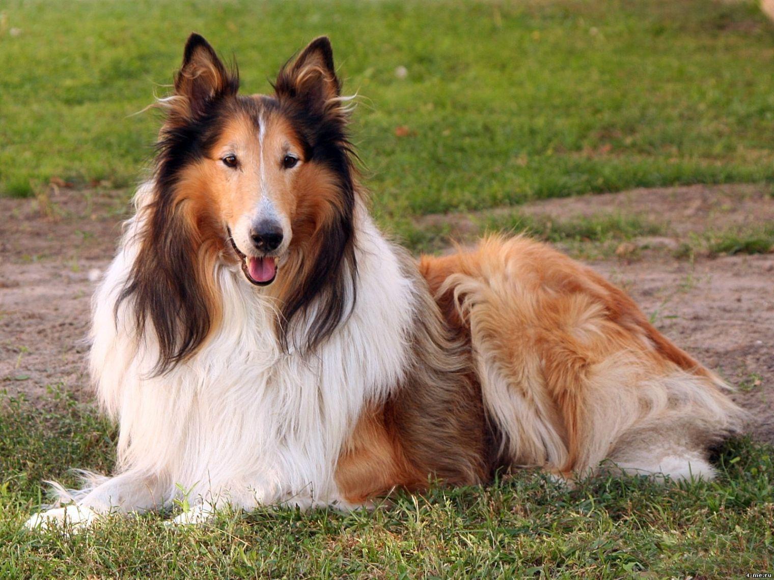 Картинки собаки породы колли