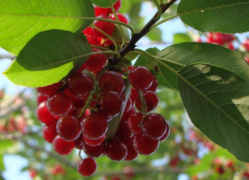 Красная чермуха полезные свойства и противопоказания
