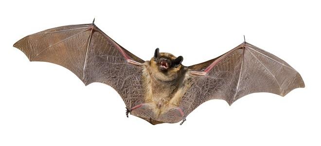 Приметы про летучую мышь: залетела в дом, балкон