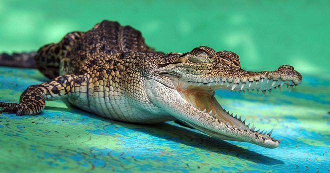 Сонник крокодил в воде на корову нападает