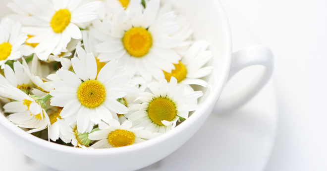 Ромашка лекарственная - применение для здоровья и красоты