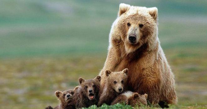 Сонник - медведь и значение сновидений о медведях