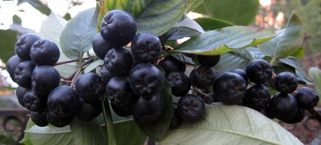 Черная рябина - полезные свойства и противопоказания