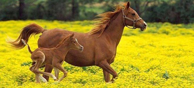 Лошадь-и-жеребенок-фото