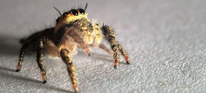 паук черный