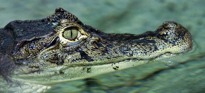 приснился крокодил