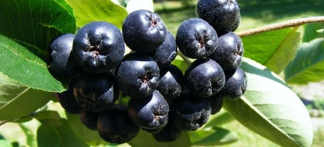 сок из черноплодной рябины польза и вред