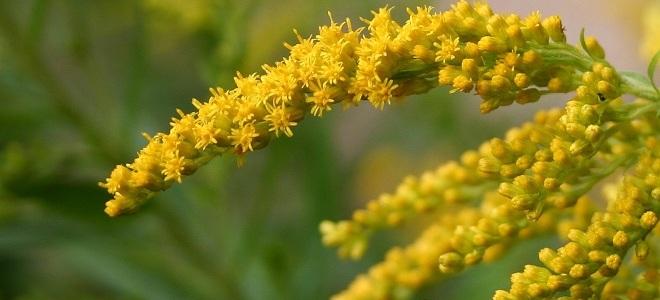 Золотая розга лечебные свойства