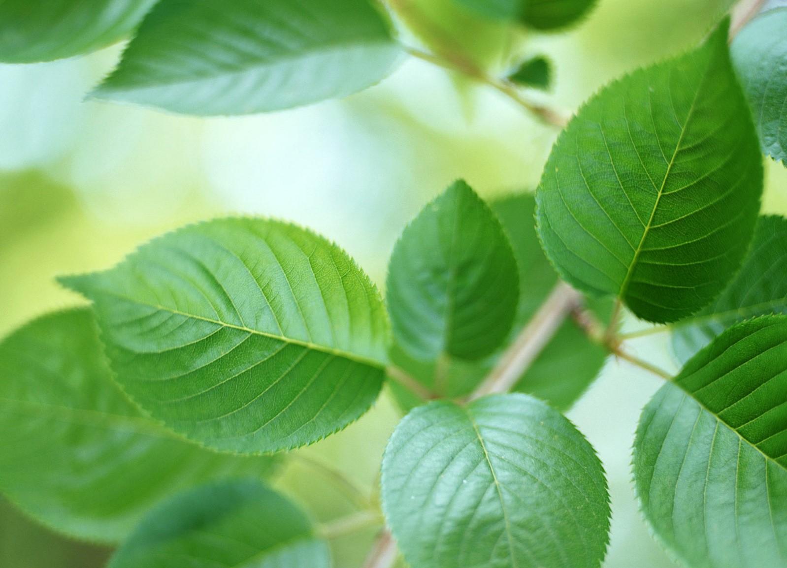 Листья вишни – полезные свойства и противопоказания