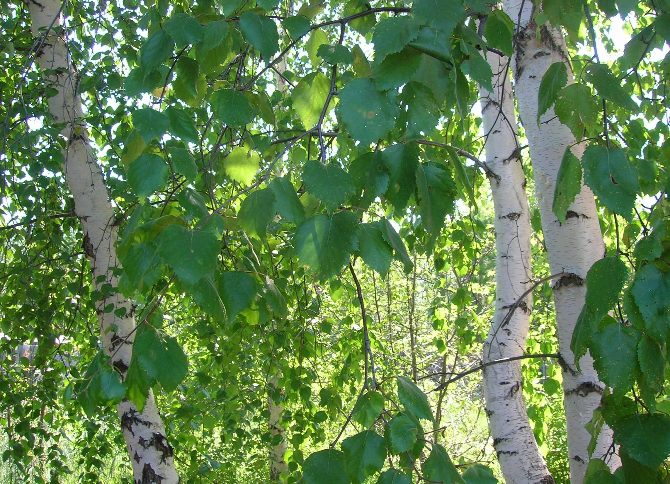Листья березы: лечебные свойства и противопоказания, применение в народной медицине