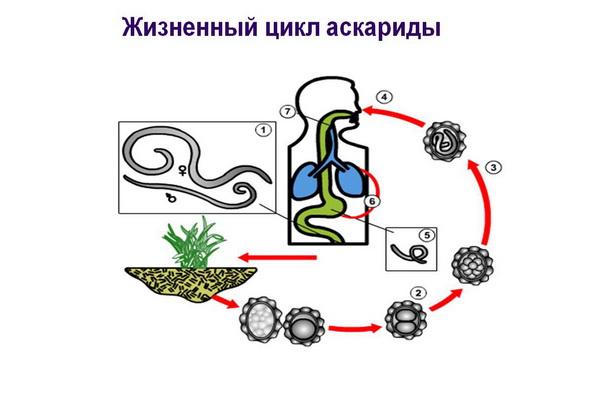 Жизненный цикл аскариды человеческой схема фото 618