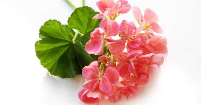Эфирное масло герани — свойства и применение в косметологии для лица и тела