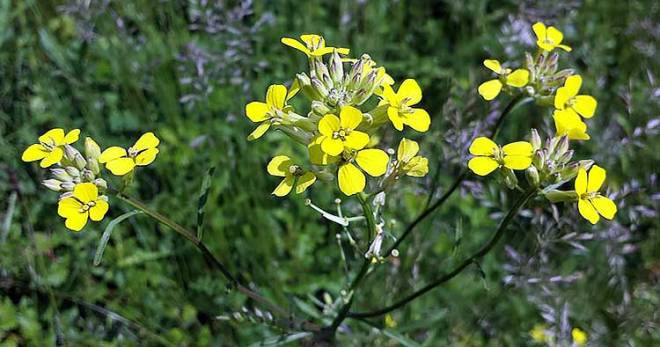 Желтушник трава лекарственные свойства