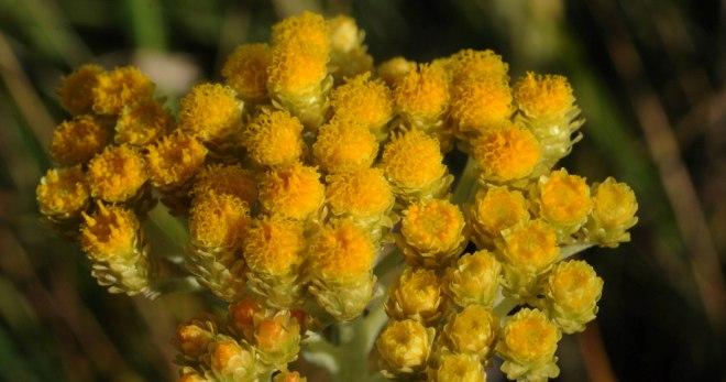 Трава бессмертник – лечебные свойства и противопоказания, цветок бессмертник (цмин песчаный) для печени, для похудения, для волос