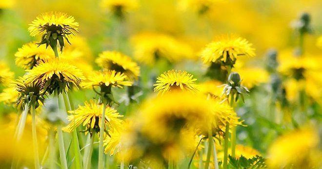 Одуванчик – лечебные свойства и противопоказания цветка, листьев и корня, 11 рецептов
