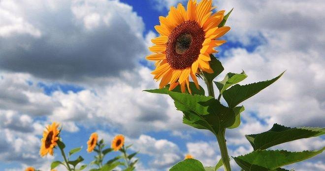 Корень подсолнуха – лечебные свойства и 5 рецептов эффетивного применения