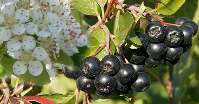 Арония черноплодная – 4 лучших лечебных рецепта из плодов черной рябины
