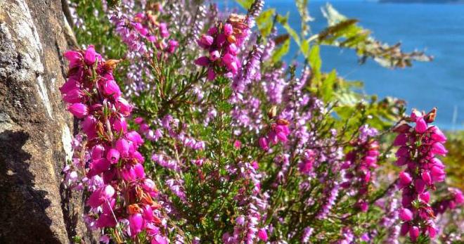 Вереск обыкновенный – лечебные свойства и 5 проверенных рецептов из Европы