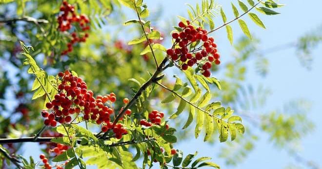 Красная рябина – 6 лучших рецептов для лечения