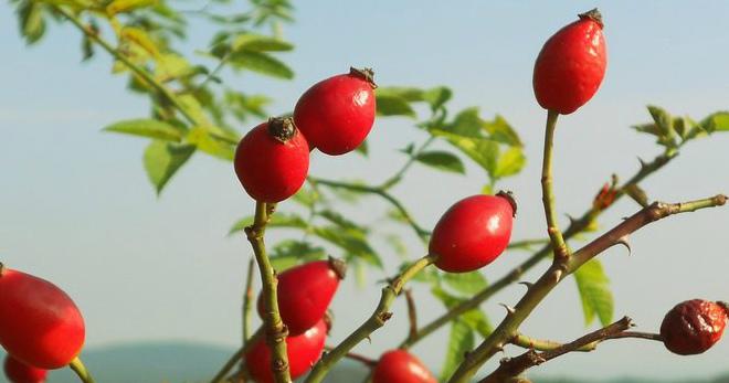 Коричный шиповник – от чего помогают плоды, и как их правильно применять?