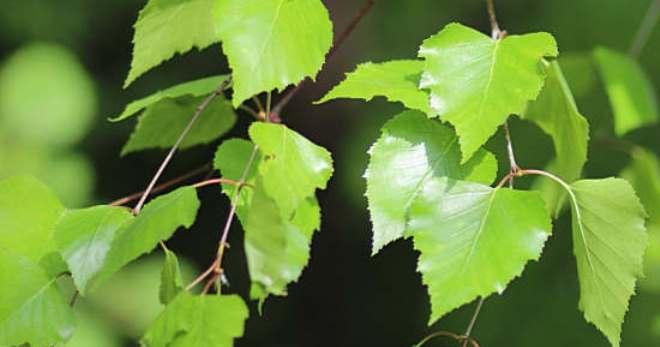 Лист березы – лечебные свойства и 5 эффективных рецептов