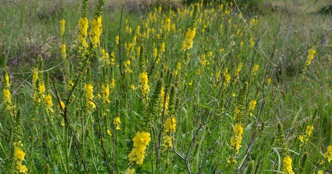 Репешок – лечебные свойства и противопоказания травы, 9 старинных рецептов