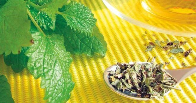 Трава мелисса – лечебные свойства и 10 лучших рецептов