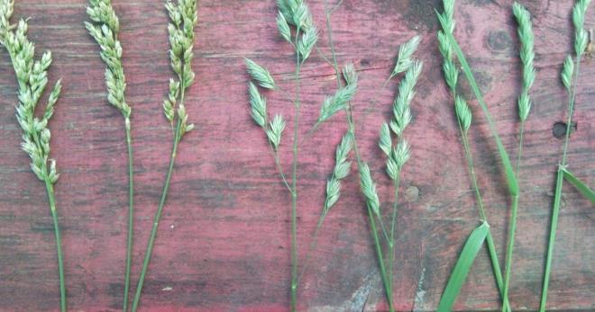 Трава зубровка – полезные свойства, противопоказания и особенности применения