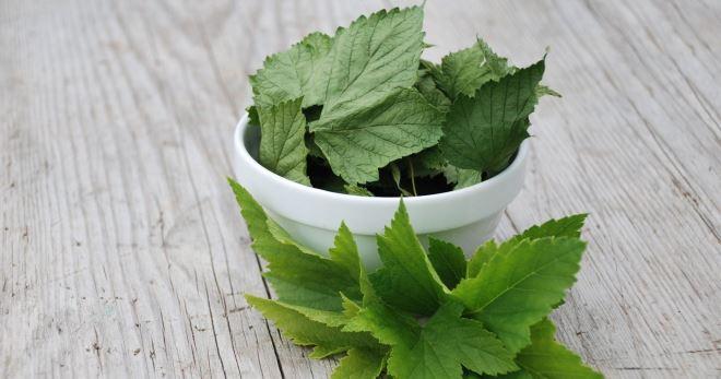 Листья смородины – лечебные свойства, противопоказания и рецепты применения