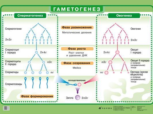 Отличительные особенности сперматогенеза и овогенеза