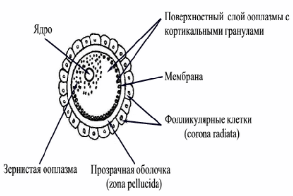 Сходства и различия между сперматозоидом и яйцеклеткой
