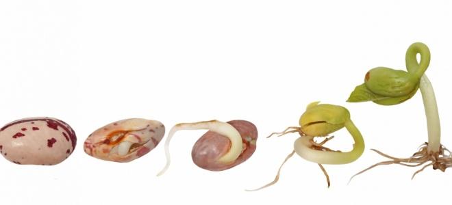 Выращивание фасоли в домашних условиях 6