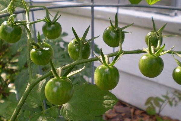 почему помидоры мелкие причина