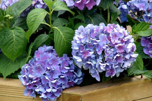 Подкормка гортензии весной, летом, осенью для пышного цветения