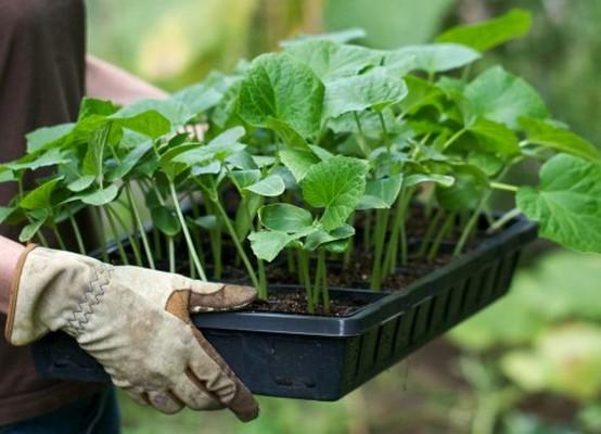 проращивание семян петунии в домашних
