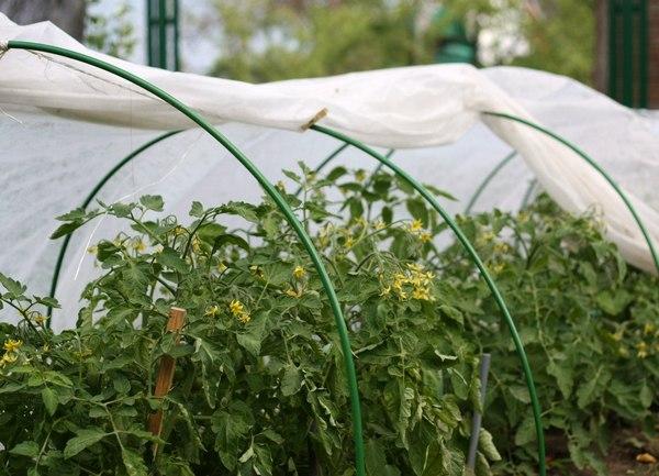 Посев томатов на рассаду весной в теплицу