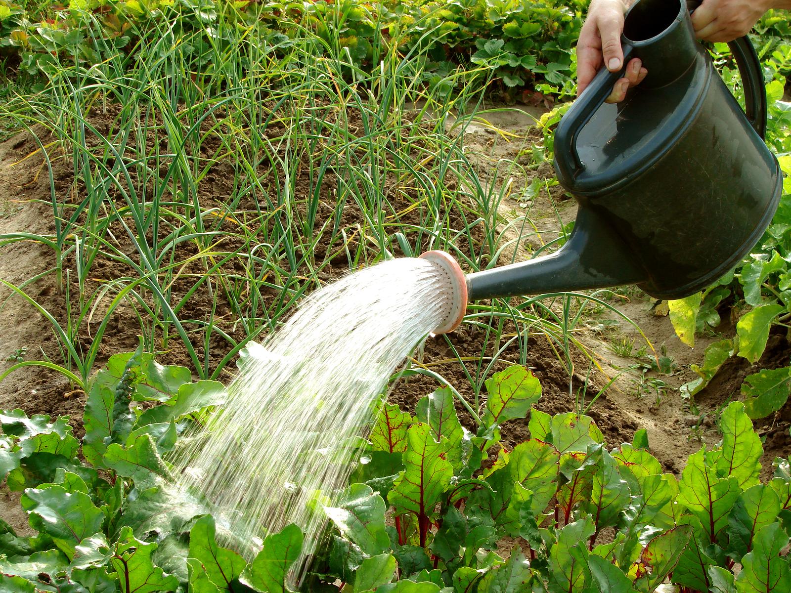 Как правильно поливать свеклу в открытом грунте