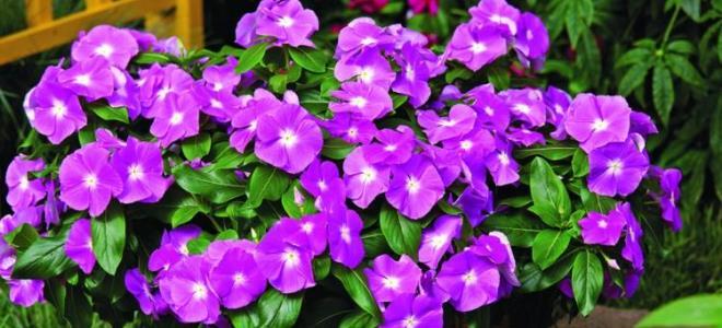 Можно ли выращивать барвинок дома