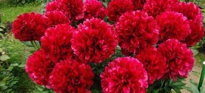 Пион Ред Чарм: описание и характеристики сорта, тонкости выращивания, подготовка к зиме