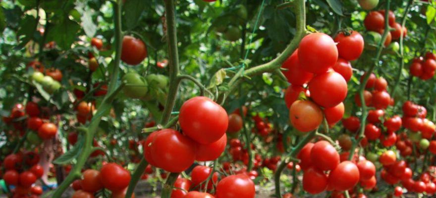 Как сделать шпалеры для огурцов и помидоров: варианты опор для овощей