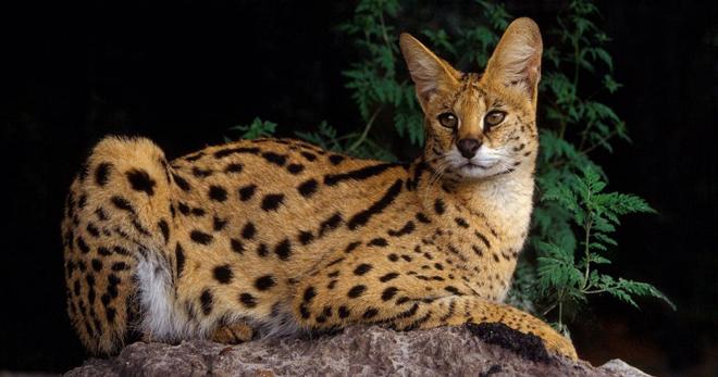 Сервал: описание породы кошек, характер, фото и видео