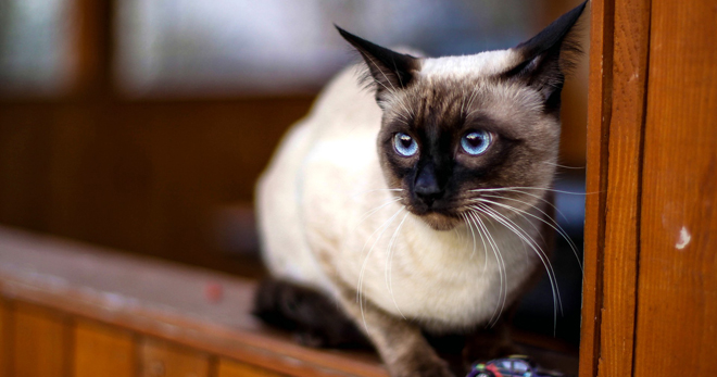 тайская кошка – описание стандартов и истории породы, особенности характера и поведения