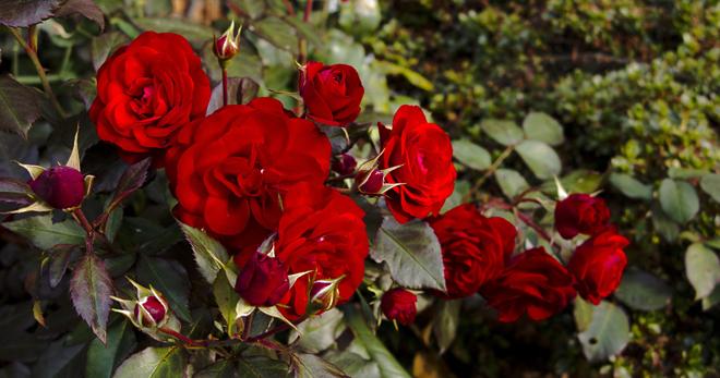 Сорта плетистые и почвопокровные виды парковые и бордюрные чайно-гибридные и мини розы