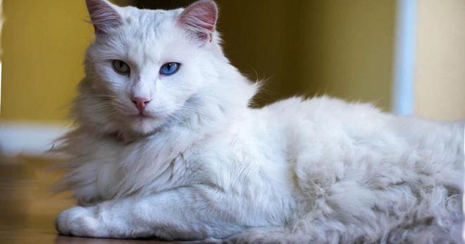 Турецкая ангора - кошка султанов и королей