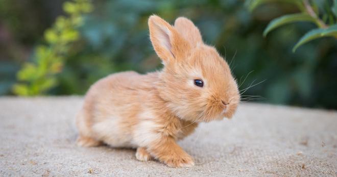 Карликовый кролик – описание, сколько живут питомцы, плюсы и минусы, основные породы