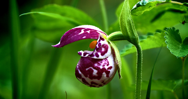 Венерин башмачок фото и описание, интересные факты о растении