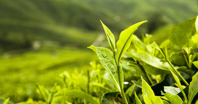 Чайное дерево – описание, как выглядит, где растет, какие есть виды, правила ухода