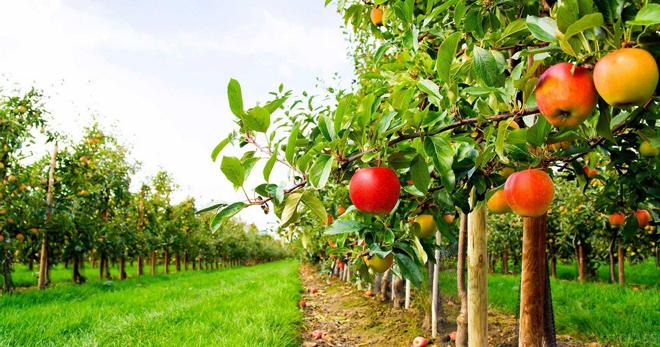 Фруктовый сад – правила и сроки посадки деревьев ...  Фруктовый Сад Обои
