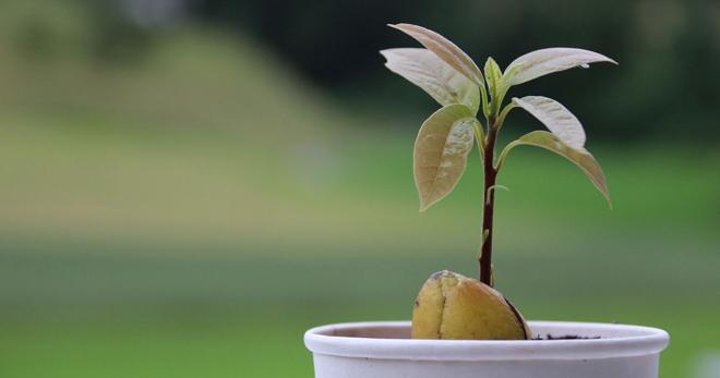 Как цветет авокадо - Мир ботаники