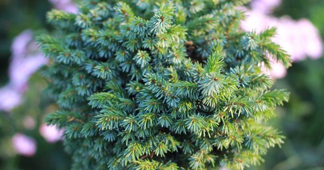 Ель сербская «Нана» (20 фото): описание сорта оморики. Посадка и уход, высота взрослого дерева, размножение